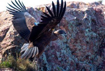 Inauguraron un paseo y mirador de cóndores en los cerros de Sierra Grande
